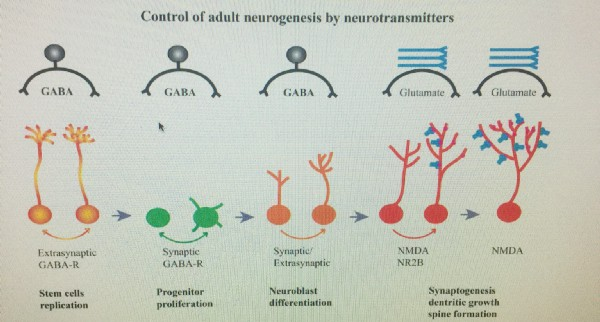 GABA and glutamate neurogenesis